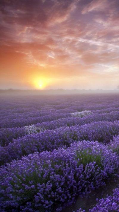 Lavender #iPhone #5s #Wallpaper | http://www.ilikewallpaper.net/iphone-5-wallpaper/, enjoy more ...