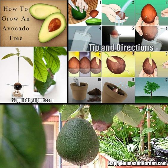 How To Grow An Avocado Tree From Start To Finish | Happy House And