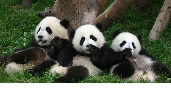 Cute Cubs Wallpaper Cute Baby Panda Gambar Cute Baby Pandas Animals