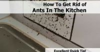 How to get rid of ants in the kitchen | home | Pinterest ...