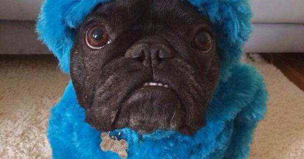 French Bulldog in Cookie Monster costume