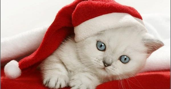 Cute Little Kitten Desktop Wallpapers Christmas Kitten Ok But No Giving Kitties Where They Won