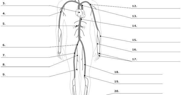 common body diagram unlabeled