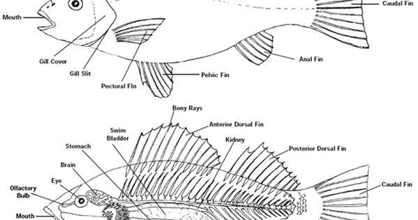 fish anatomy diagram fish anatomy