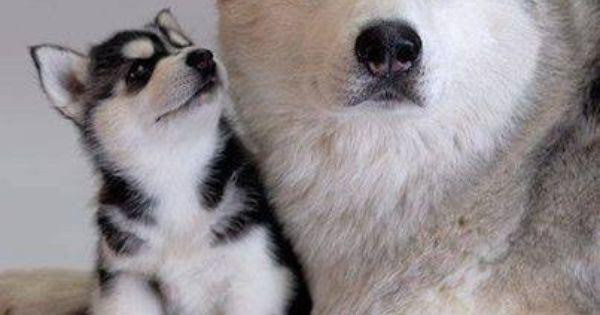 A Cute Puppy Wallpaper Maman Et B 233 B 233 Husky Instinct Maternel Pinterest B 233 B 233