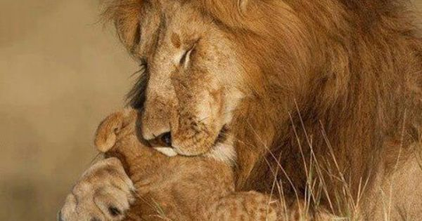 Cute Heart Wallpapers Download Lion Hugging Cub Cats Pinterest Children Lion And Cubs