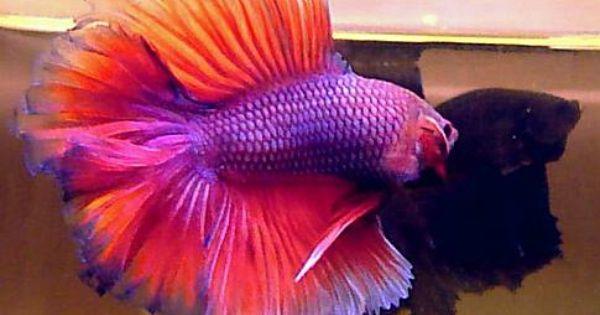 Real Purple Fish