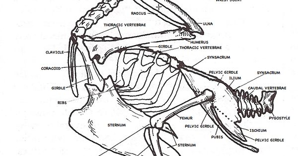 labeled pigeon skeleton diagram anatomie prenten pinterest