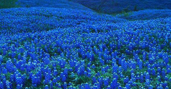 Bluebonnet Iphone Wallpaper Bluebonnet Field In Ellis County Texas Landscape