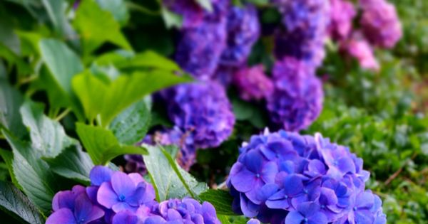 Dark Purple Hydrangea Garden: Hydrangeas :). I Have Never Seen Then This Dark