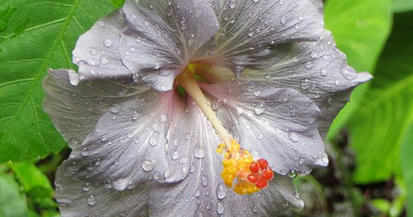 Hibiscus In Spanish Rare Hibiscus - Grey Flower - By Joel Abroad, Via Flickr