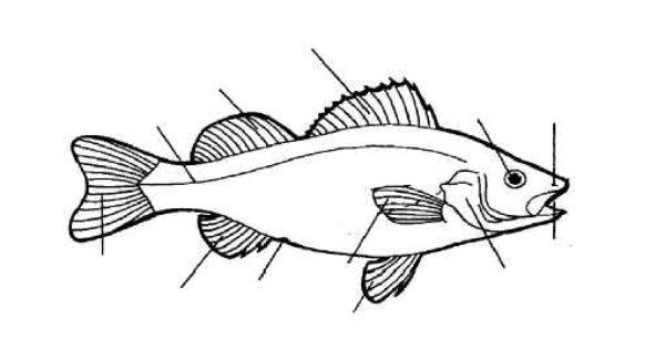 diagram of goldfish