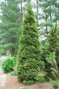 17 Best ideas about Arborvitae Landscaping on Pinterest ...