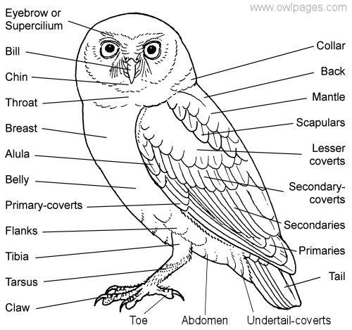 barn owl labelled diagram