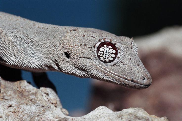 Cute Leopard Gecko Wallpaper Thorn Tailed Gecko Eye Geckos Pinterest Mata Geckos