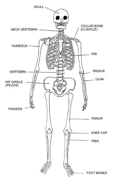 legs bone diagram