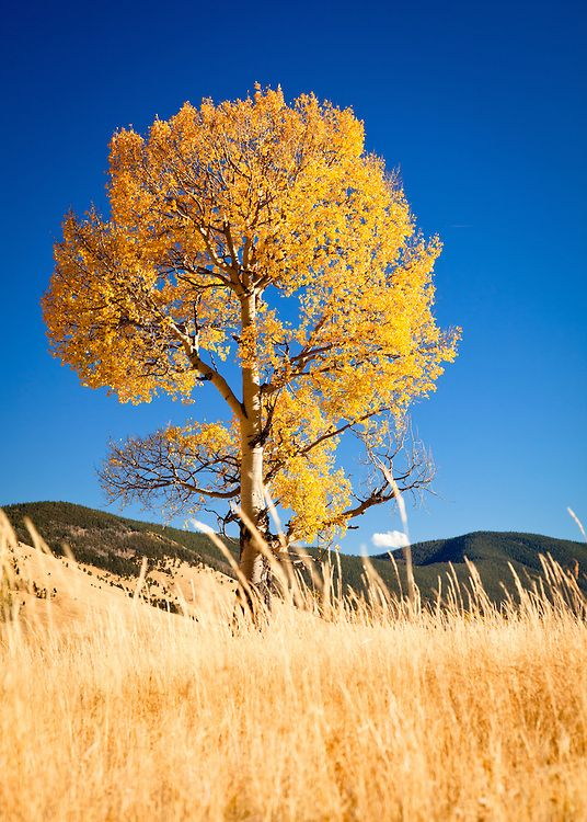 Fall Aspens Wallpaper 17 Best Images About My Favorite Trees Plants Flowers