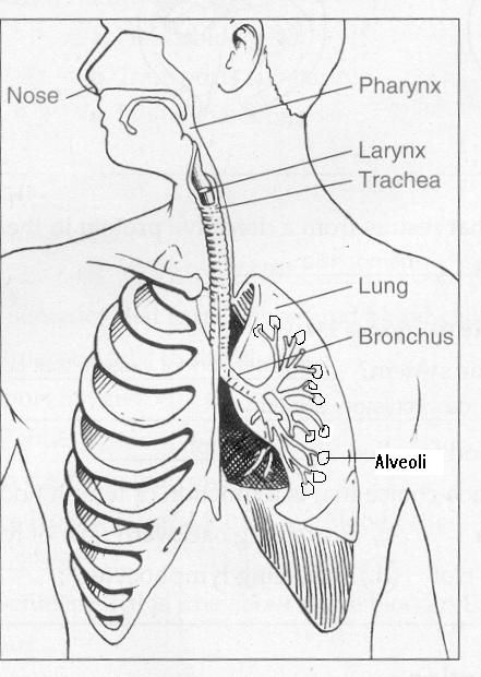 labled lung diagram for 5thi grade