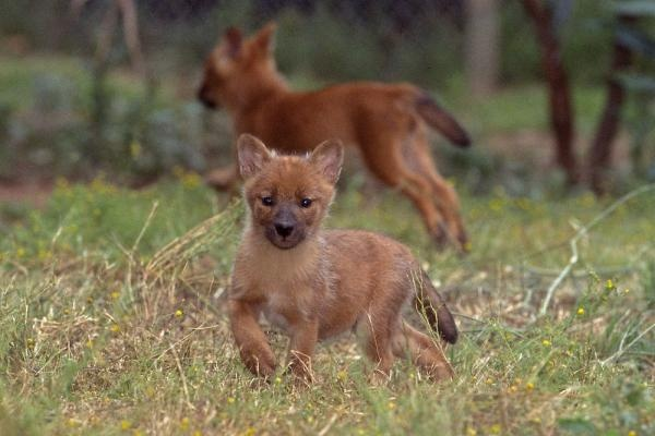 Baby Dhole To Cute Cute Animals Pinterest Babies