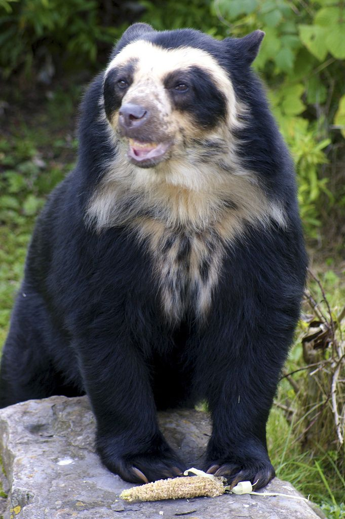 Cute Ducks In Water Wallpaper Spectacled Bear Chester Zoo Particulary Palletted