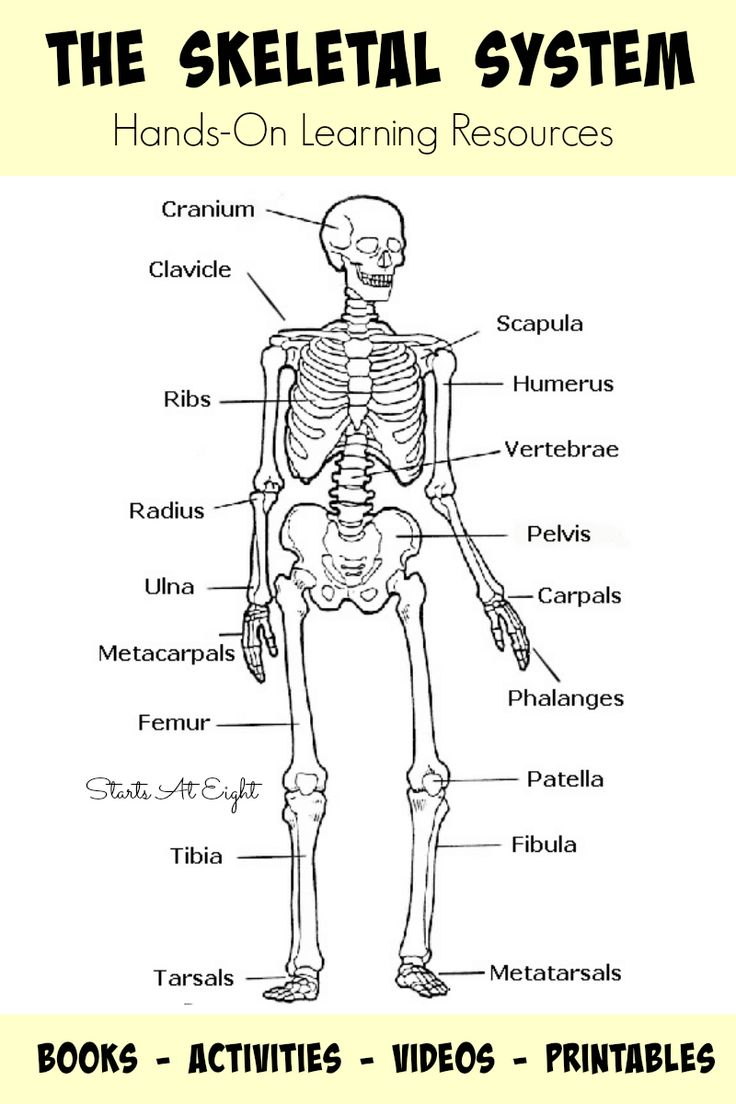 Best 25+ Skeletal system activities ideas only on