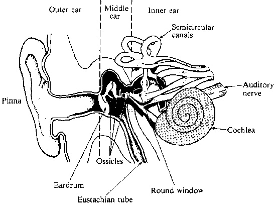 preschool ear diagram