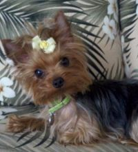 1748 best Yorkies images on Pinterest