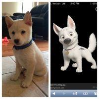 My dog is famous! He looks just like Bolt! | My Shiba Inu ...