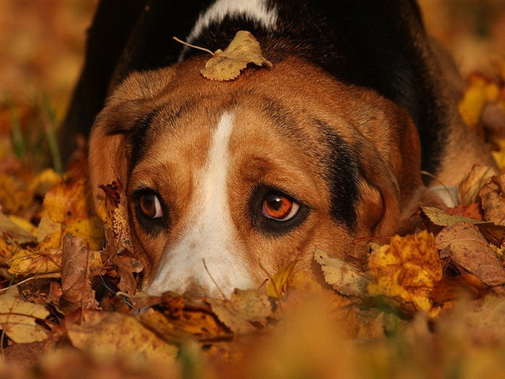 Cute Wallpapers 1080p Beagles 10 Best Images About A Slice In Time Holidays Autumn