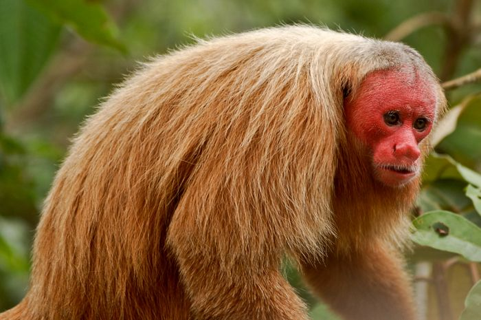 Amazon Rainforest Animals Wallpaper Uakari Is The Common Name For The New World Monkeys Of The