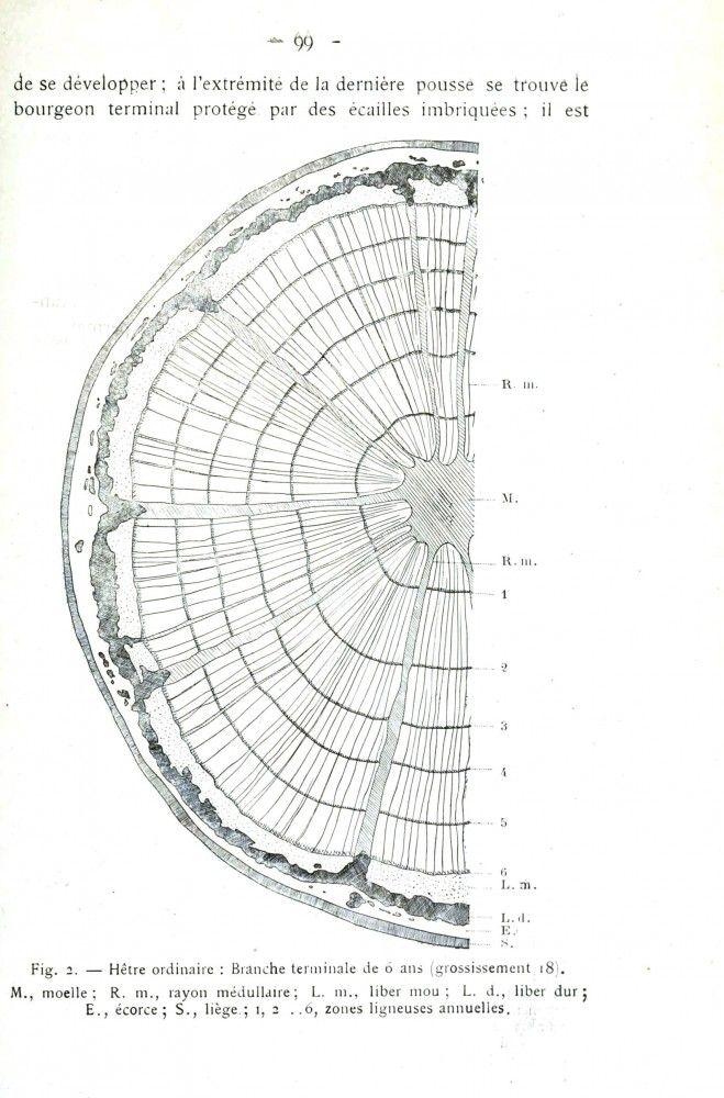 botanical tree tree ring diagram vintageprintable