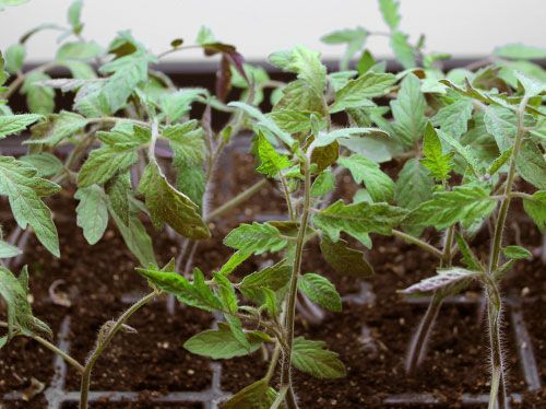 1000+ Ideas About Growing Tomatoes From Seed On Pinterest | Tomato