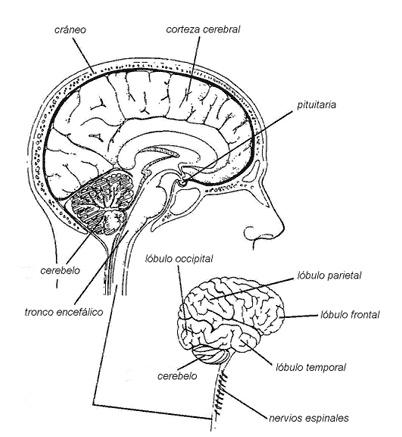 dibujo de ejercicio sistema nervioso para colorear dibujos autobiologia fotos dibujos imagenes dibujos del cerebro