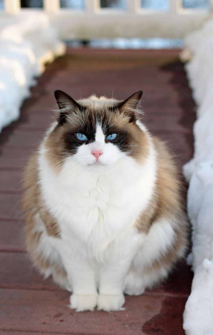1000 Ideas About Ragdoll Cat Breeders Pinterest