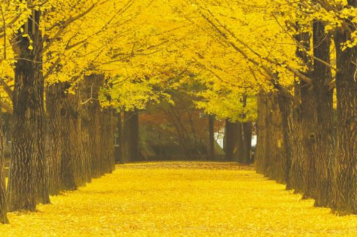 Live Wallpaper Fall Leaves A Gingko Tree Lined Path On Nami Island Ann The Korea