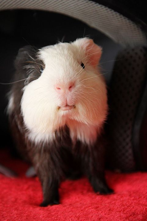 Guinea Pig Dawww Animals Pinterest So Cute
