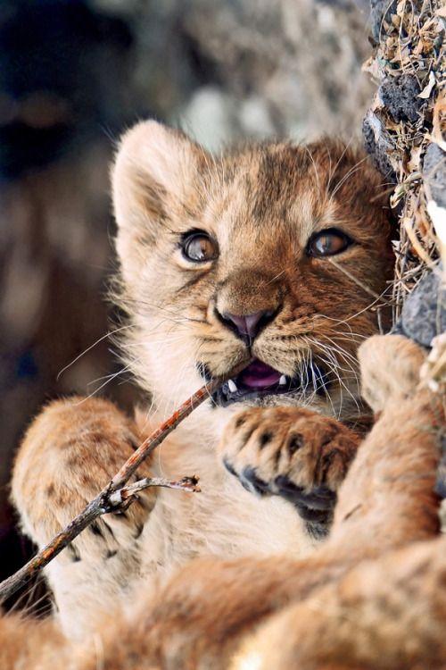 Cute Lion Cubs Hd Wallpapers Best 25 Lion Cub Ideas On Pinterest Cute Bears