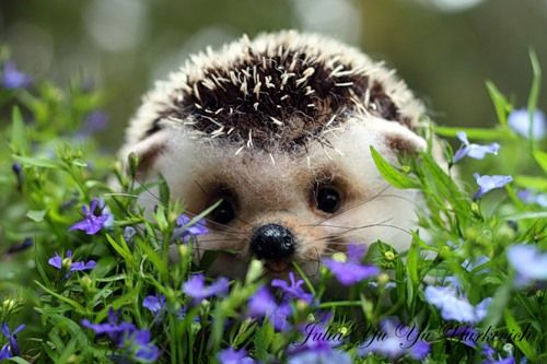 Cute Baby Hedgehog Wallpaper My Cousin Has A Pet Hedgehog It S The Cutest Thing