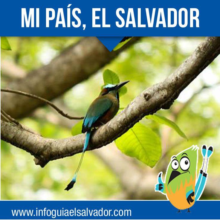 Blue Animal Print Wallpaper El Torogoz Ave Nacional De Elsalvador Y S 237 Mbolo De La