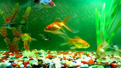 Get free Aquariums Live Wallpaper. Google Playstore Click here to download Apps: https://play ...
