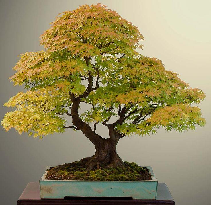 wiring acer bonsai trees