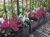 Cyclamen, silver leaf and heather. Chiswick window boxes ...