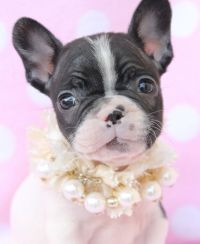 1000+ ide tentang Teacup French Bulldogs di Pinterest ...