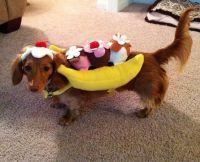 Dachshund costume-banana split! | Just for fun | Pinterest ...
