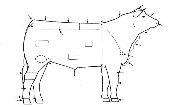cow beef diagram bing images