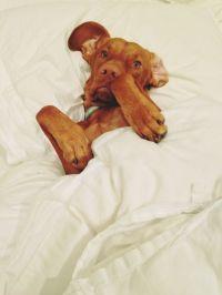 17 Best images about vizslas on Pinterest | For dogs, Pets ...
