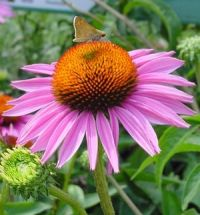 403 best images about ECHINACEA on Pinterest | Discover ...