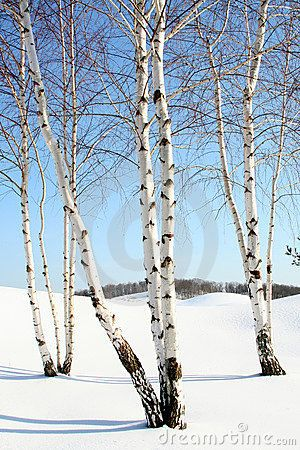 Birch Tree Fall Wallpaper Close Up 15 Best Images About Mural Ideas On Pinterest Sky Trees