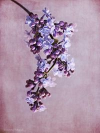 17 Best ideas about Lilac Walls on Pinterest | Lavender ...