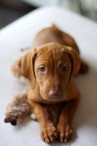 40 best Hungarian Wirehaired Vizslas images on Pinterest